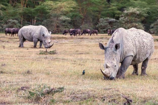 Nosorożce na sawannie