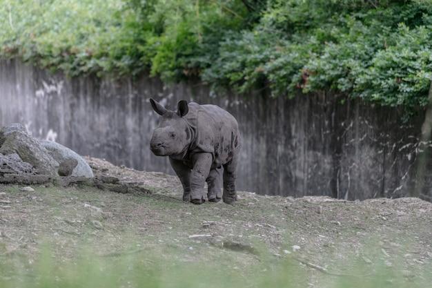 Nosorożec biały biegnie przez zoo otoczone drewnianymi płotami i zielenią