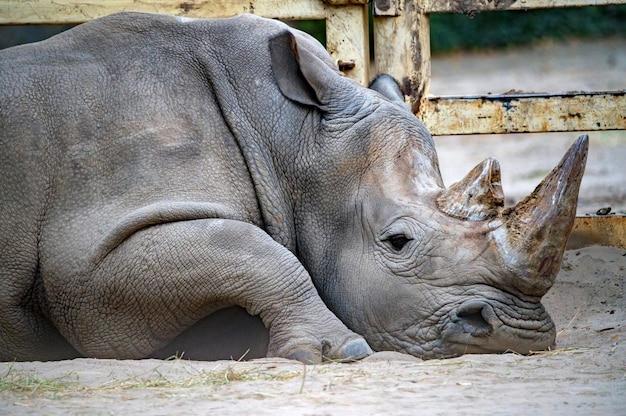 Nosorożec biały lub ceratotherium simum leżący w niewoli