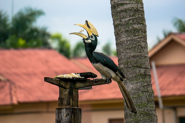 Nosorożec dzioborożec siedzi na drzewie i dzioba ziarno ryżu na wyspie pangkor, malezja. rzadki piękny ptak wymieniony w czerwonej księdze