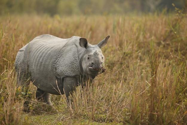Nosorożec indyjski w azji nosorożec indyjski lub nosorożec rogaty jednorożec z zieloną trawą