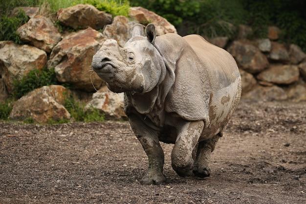 Nosorożec indyjski w pięknym, wyglądającym na przyrodę siedlisku