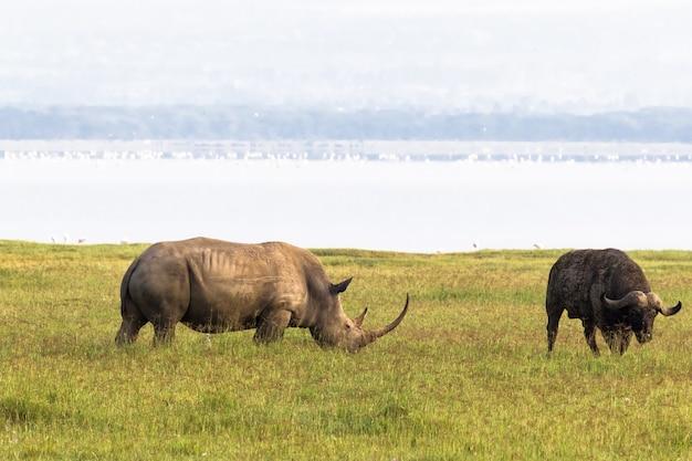 Nosorożec na brzegu jeziora nakuru. kenia, afryka