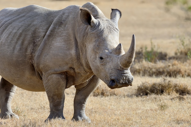 Nosorożec na sawannie w parku narodowym afryki