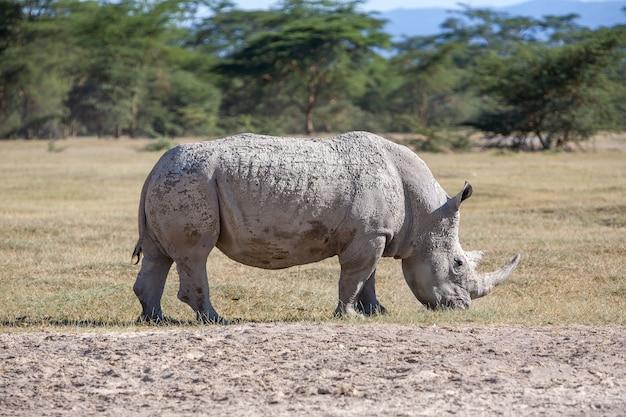 Nosorożec na sawannie