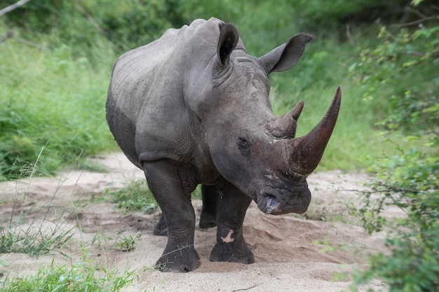 Nosorożec patrzący w kamerę