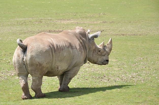Nosorożec spacerujący po łące