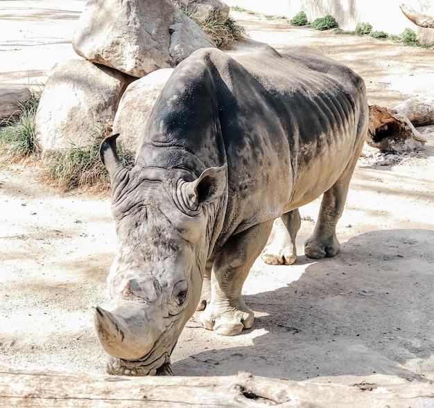 Nosorożec spaceruje po terenie zoo w barcelonie. fotografia dzikich zwierząt.
