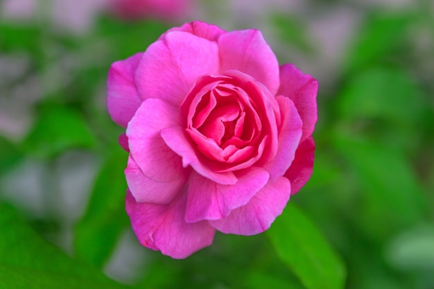 Nowa róża zakwitnie różowym kolorem i rozmytym zielonym tłem liści