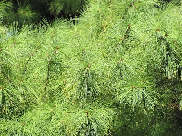 Nowe igły wyrastające z krzewu późną wiosną