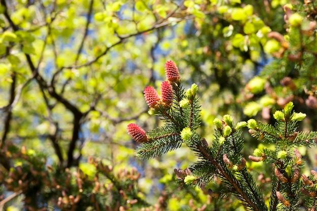 Nowe piękne czerwone szyszki świerkowe podczas wiosennej pogody, zbliżenie wierzchołka drzewa