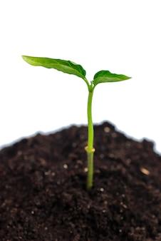 Nowe życie - zielone kiełki z gleby, na białym tle. niewielka głębokość pola