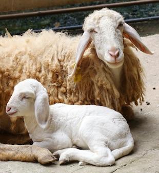 Nowo narodzone owce, porzucone nowo narodzone jagnięta