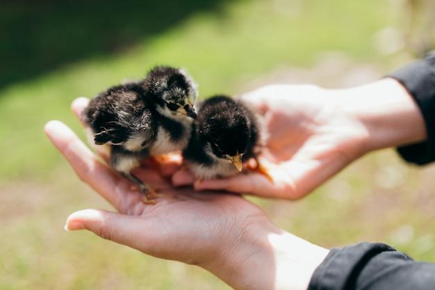 Nowo narodzony kurczak w dłoniach