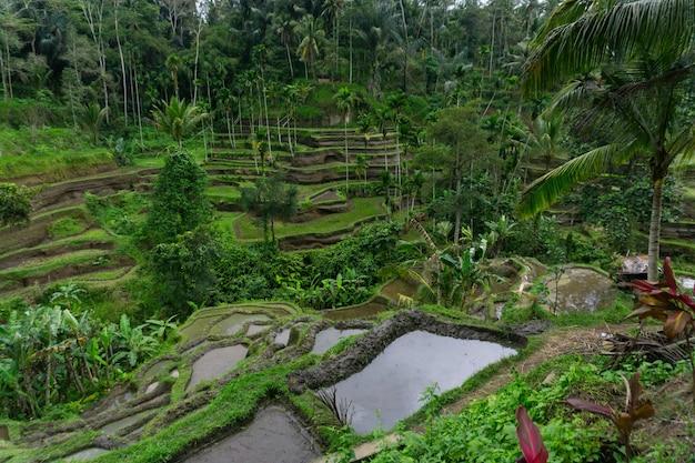 Nowo posadzone pola ryżowe w ubud