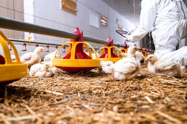 Nowoczesna ferma drobiu i rolnik sprawdzający produkcję na tablecie i zautomatyzowanym systemie karmienia.