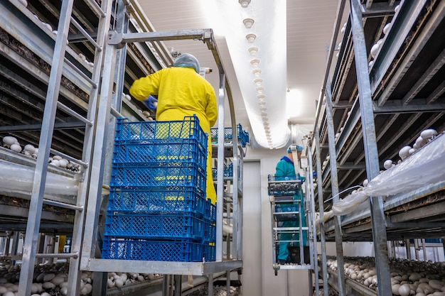 Nowoczesna przemysłowa uprawa białych grzybów w dużych ilościach