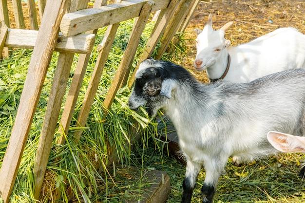 Nowoczesne zwierzęta gospodarskie. ładny koza relaks na podwórku na farmie w letni dzień. kóz domowych pasących się na pastwisku i żucia, tło wsi. koza w naturalnym gospodarstwie ekologicznym uprawiana na mleko, sery