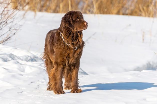 Nowofundland brązowy pies rozgląda się w zimowy słoneczny dzień.