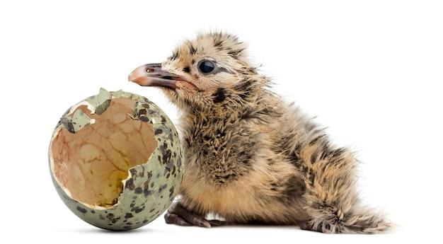 Nowonarodzona mewa lub mewa z wyklutym jajkiem