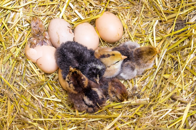 Nowonarodzone kurczaki na gnieździe ze słomy w gospodarstwie