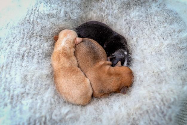 Nowonarodzone szczenięta chihuahua śpiące na ciepłym, puszystym szarym szaliku, widok z góry.
