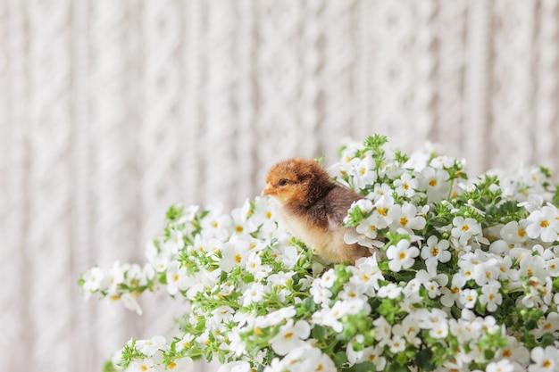 Nowonarodzony, puszysty, młody kurczak na tle białych kwiatów. symbol wiosny, wakacji, wielkanocy, gratulacje.