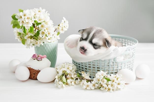 Nowonarodzony szczeniak husky syberyjski. hodowla psów husky. wielkanocny pies z kwitnącymi gruszkowymi gałąź i jajkami. wielkanocny kartka z pozdrowieniami szablon