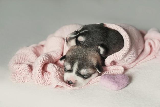 Noworodek siberian husky w wieku 1 dni. hodowla psów husky. pojęcie medycyny weterynaryjnej, kliniki zoo, kliniki weterynaryjnej. szczenięta psów śpią. hotel zoo. hotel dla zwierząt. artykuły dla zwierząt domowych