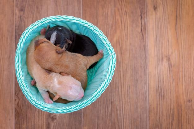 Noworodka szczenięta chihuahua leżącego w wiklinowym koszu, drewniane tła