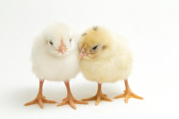 Noworodka żółte pisklęta na białym tle