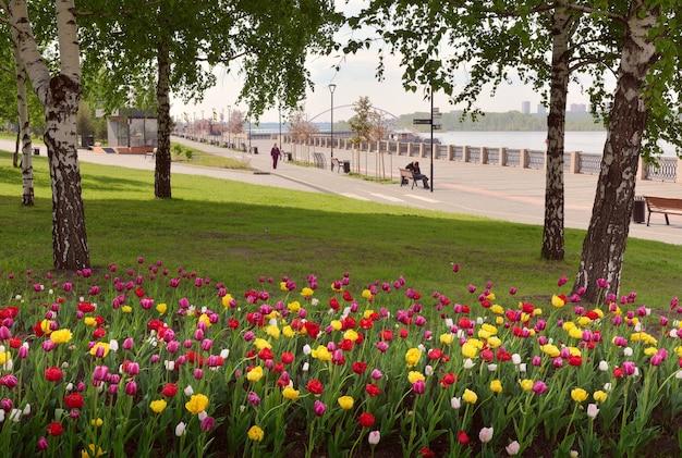 Nowosybirsk syberia rosja05232021 kwitnące tulipany na nabrzeżu rzeki ob