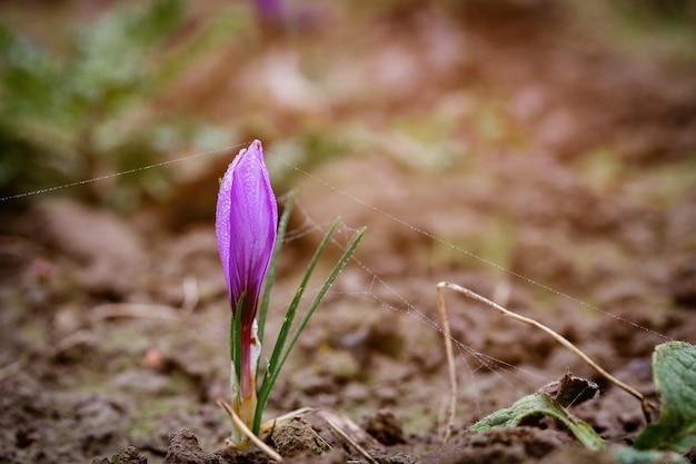 Nowy purpurowy kwiat szafranu na polu podczas kwitnienia w czasie zbiorów