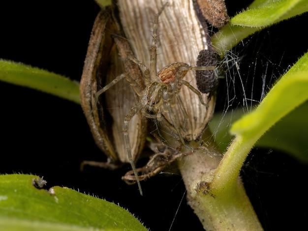 Nursery web spider z rodziny pisauridae