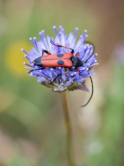 Nustera distigma to gatunek owada chrząszcza z rodziny cerambycidae.