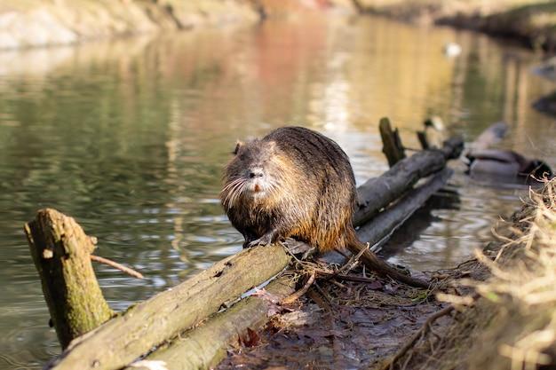 Nutria, myocastor coypus lub rzeka szczur dziki w pobliżu rzeki