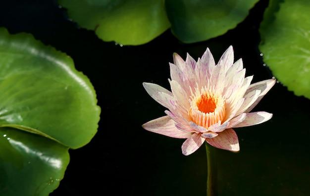 Nymphaea paranee hardy water lily kwitnąca w świetle słonecznym