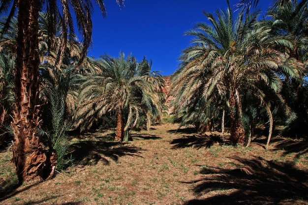 Oaza na pustyni sahara w sudanie