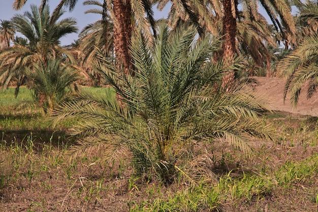Oaza na saharze w sudanie