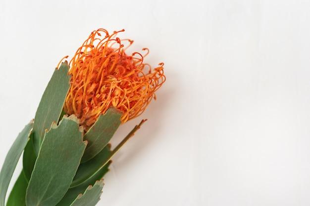 Obchody z pięknym kwiatem leucospermum, egzotyczną rośliną zimozieloną z miejscem na tekst. kartkę z życzeniami. widok z góry.