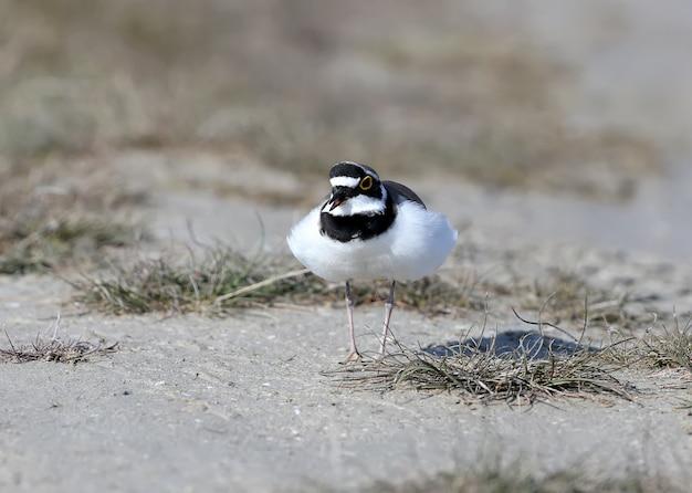 Obecny samiec sieweczki dzwoneczkowej w rozpiętym upierzeniu biegnie po piasku, aby wypędzić przeciwnika