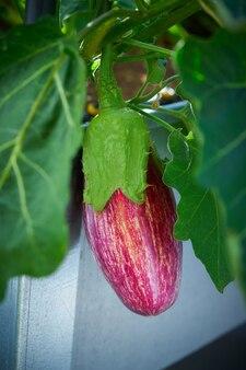 Oberżyny fioletowy w gospodarstwie pole sadu