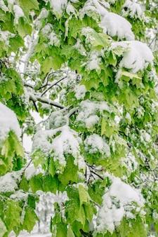 Obfitość śniegu późną wiosną z przymrozkami