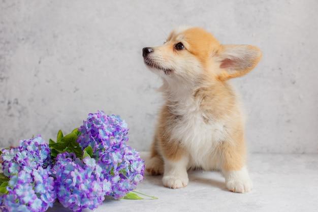 Obok kwiatów siedzi szczeniak pembroke welsh corgi