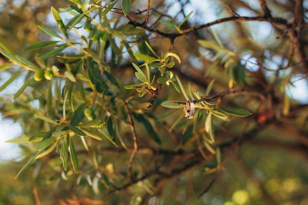 Obrączki ślubne na nitce w drzewie oliwnym