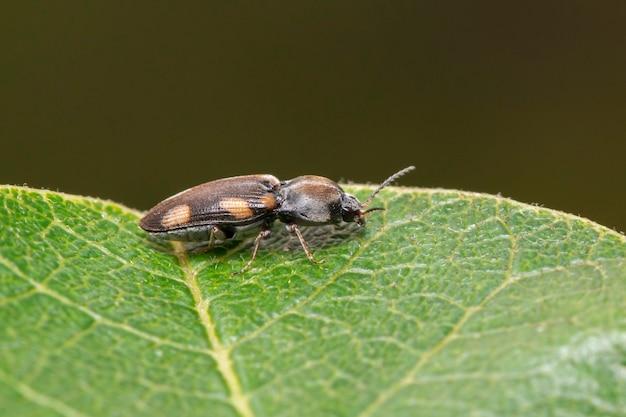 Obraz brązowego chrząszcza na zielonych liściach na naturalnym tle. zwierzę. owad