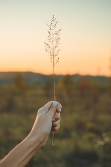Obraz brązowego pola kwiat trawy z bokeh i światła słońca. obraz kwiat złotej trawy w kobiecej dłoni