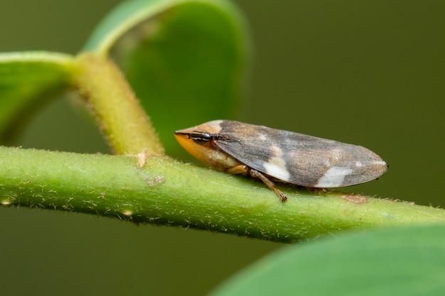 Obraz brązowego skoczka na naturalnym tle. owad. zwierzę