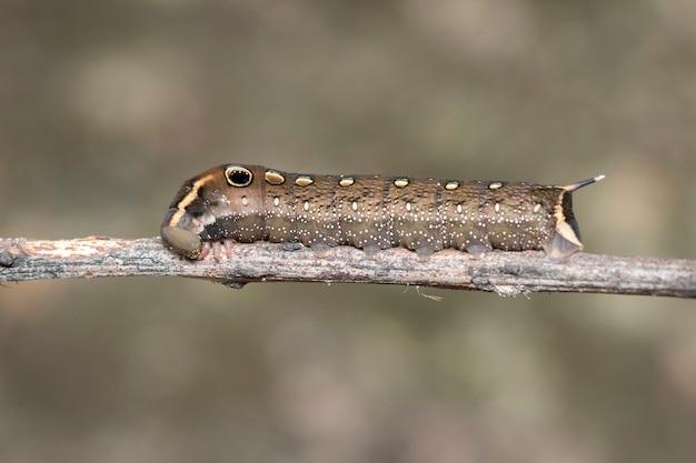 Obraz brązowej gąsienicy na gałęzi. owad. brązowy robak.