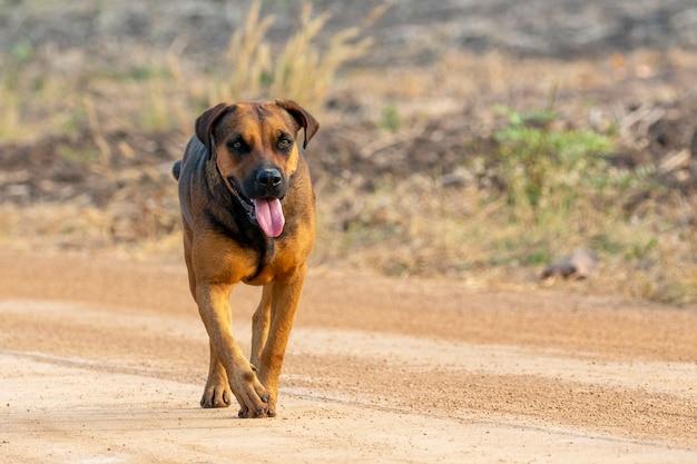 Obraz brązowy pies na charakter.